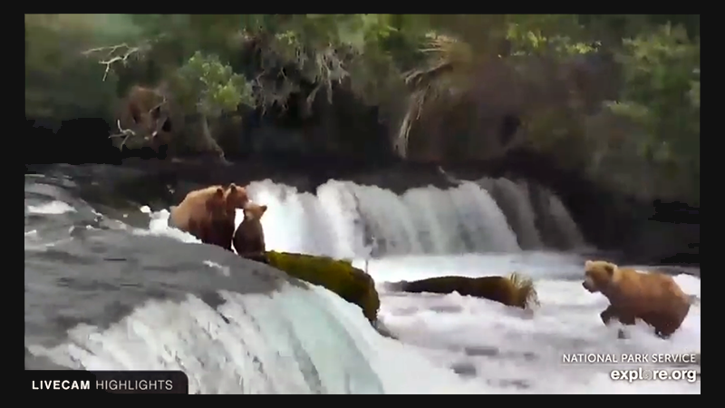 Brown bear family playing in a stream next to a two-foot waterfall