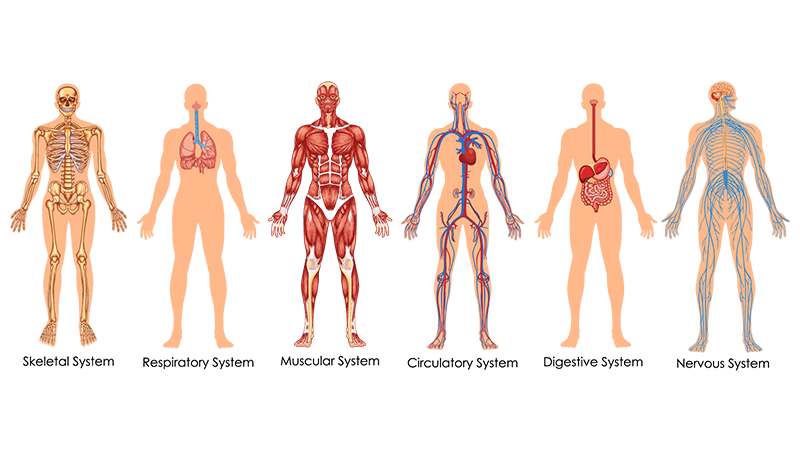 transparent body image of each of the six body systems