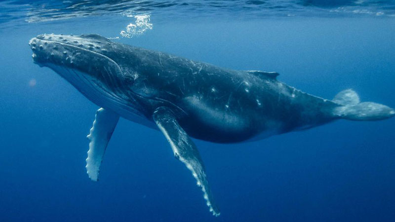 Blue whale just below the surface