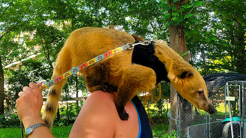 Exotics-R-Us Red - A Red Mountain Coati Mundi on a handler's shoulder